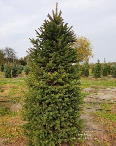 Ель колючая Глаука (Picea pungens Glauca) ФОТО Питомник растений Природа (67)