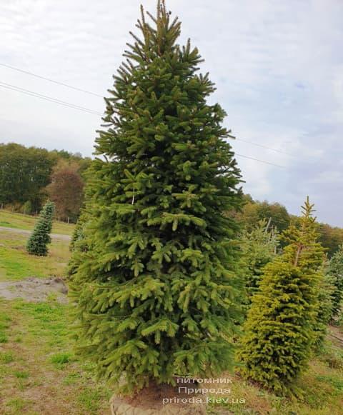 Ель колючая Глаука (Picea pungens Glauca) ФОТО Питомник растений Природа (68)