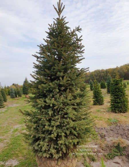 Ель колючая Глаука (Picea pungens Glauca) ФОТО Питомник растений Природа (69)