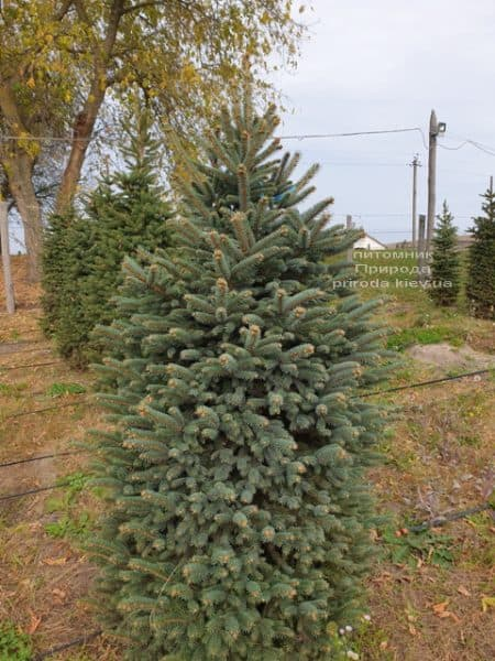 Ялина колюча Глаука (Picea pungens Glauca) ФОТО Розплідник рослин Природа (70)