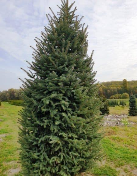 Ель колючая Глаука (Picea pungens Glauca) ФОТО Питомник растений Природа (71)