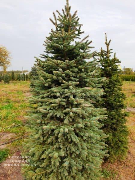 Ель колючая Глаука (Picea pungens Glauca) ФОТО Питомник растений Природа (72)