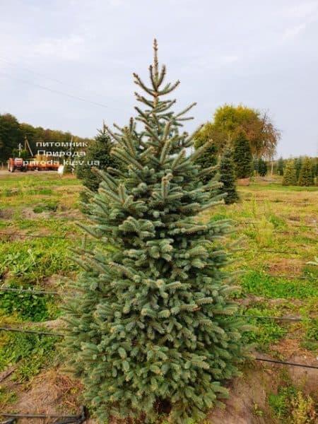 Ялина колюча Глаука (Picea pungens Glauca) ФОТО Розплідник рослин Природа (73)