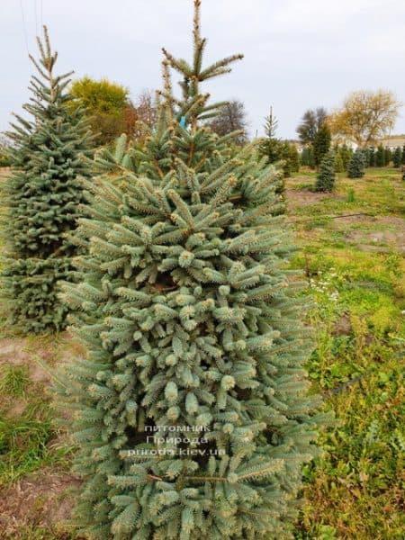 Ялина колюча Глаука (Picea pungens Glauca) ФОТО Розплідник рослин Природа (74)