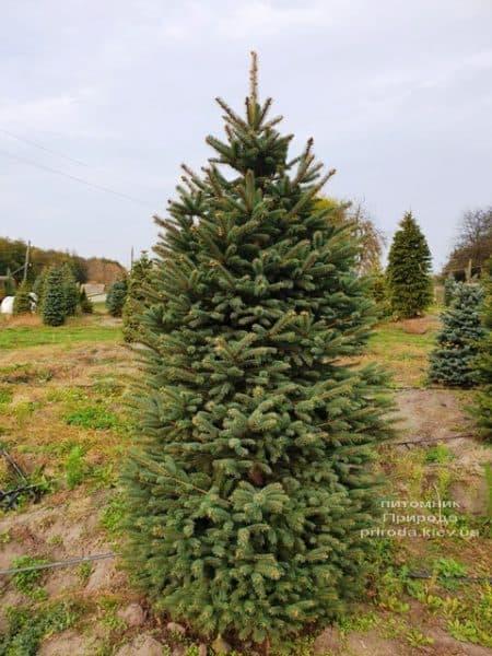 Ель колючая Глаука (Picea pungens Glauca) ФОТО Питомник растений Природа (75)