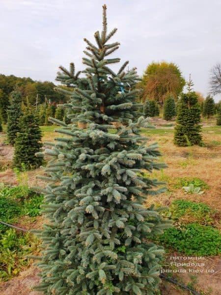 Ель колючая Глаука (Picea pungens Glauca) ФОТО Питомник растений Природа (76)
