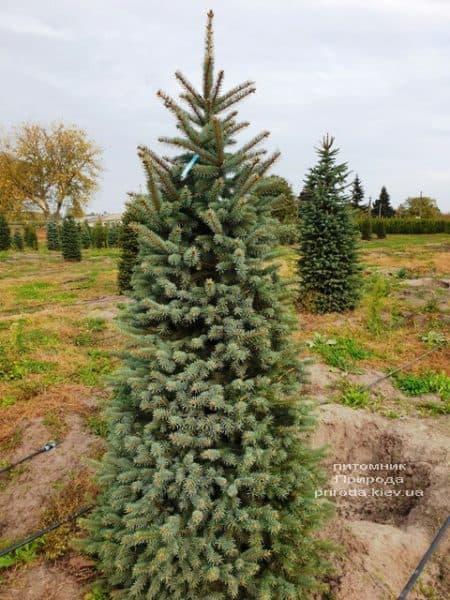 Ель колючая Глаука (Picea pungens Glauca) ФОТО Питомник растений Природа (77)