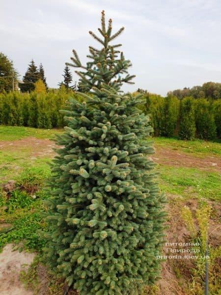 Ель колючая Глаука (Picea pungens Glauca) ФОТО Питомник растений Природа (78)