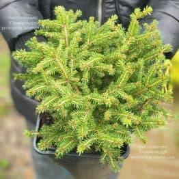 Ель обыкновенная Нидиформис (Picea abies Nidiformis) ФОТО Питомник растений Природа (8)
