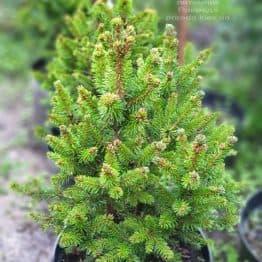 Ялина звичайна Виллс ЦВЕРГ (Picea abies Wills Zwerg) ФОТО Розплідник рослин Природа (1)