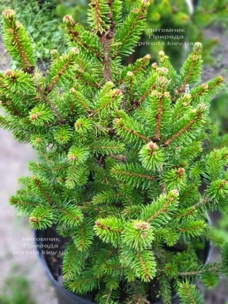 Ель обыкновенная Виллс Цверг (Picea abies Wills Zwerg) ФОТО Питомник растений Природа (4)