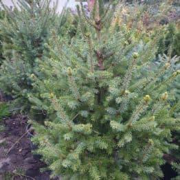 Ялина Сербська (Picea omorica) ФОТО Розплідник рослин Природа (17)