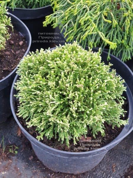 Кипарисовик горохоплодний Вайт Пігмі (Chamaecyparis pisifera White Pygmy) ФОТО Розплідник рослин Природа (1)