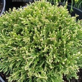 Кипарисовик горохоплодный Вайт Пигми (Chamaecyparis pisifera White Pygmy) ФОТО Питомник растений Природа (2)