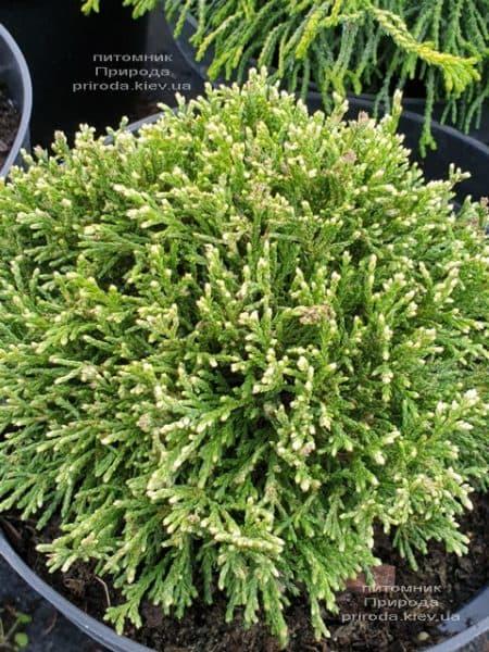 Кипарисовик горохоплодний Вайт Пігмі (Chamaecyparis pisifera White Pygmy) ФОТО Розплідник рослин Природа (2)
