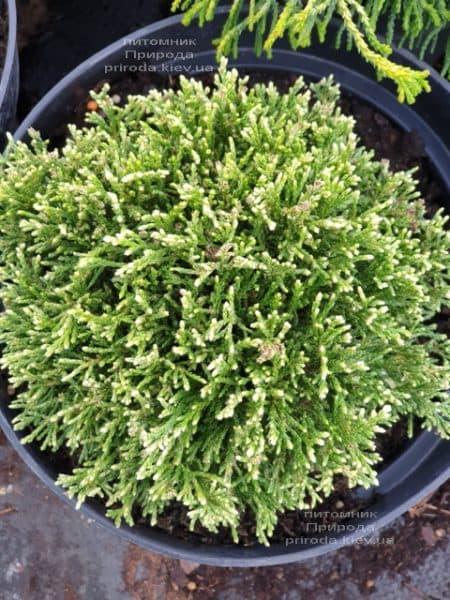 Кипарисовик горохоплодний Вайт Пігмі (Chamaecyparis pisifera White Pygmy) ФОТО Розплідник рослин Природа (3)