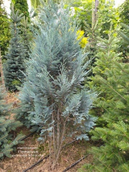 Кипарисовик Лавсона Блом (Chamaecyparis lawsoniana Blom) ФОТО Питомник растений Природа (1)