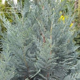 Кипарисовик Лавсона Блом (Chamaecyparis lawsoniana Blom) ФОТО Розплідник рослин Природа (2)