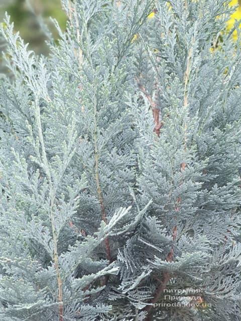 Кипарисовик Лавсона Блом (Chamaecyparis lawsoniana Blom) ФОТО Питомник растений Природа (3)