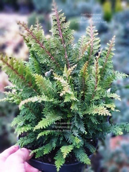 Кипарисовик тупой Дилатуш (Chamaecyparis obtusa Dilatush) ФОТО Питомник растений Природа (1)