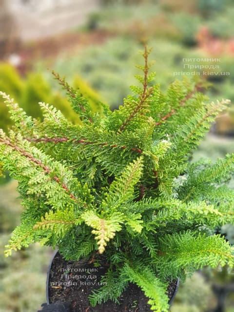 Кипарисовик тупой Дилатуш (Chamaecyparis obtusa Dilatush) ФОТО Питомник растений Природа (3)