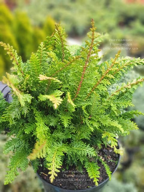 Кипарисовик тупой Дилатуш (Chamaecyparis obtusa Dilatush) ФОТО Питомник растений Природа (4)