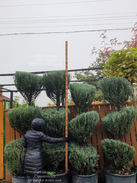 Ялівець скельний Блю Арроу (Блю Ерроу) (Juniperus scopolorum Blue Arrow) ФОТО Розплідник рослин Природа (43)