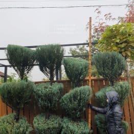 Можжевельник скальный Блю Арроу (Блю Эрроу) (Juniperus scopolorum Blue Arrow) ФОТО Питомник растений Природа (44)