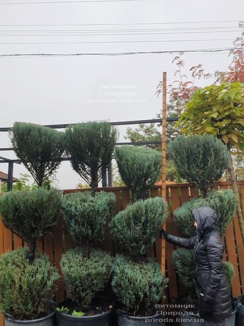 Ялівець скельний Блю Арроу (Блю Ерроу) (Juniperus scopolorum Blue Arrow) ФОТО Розплідник рослин Природа (44)