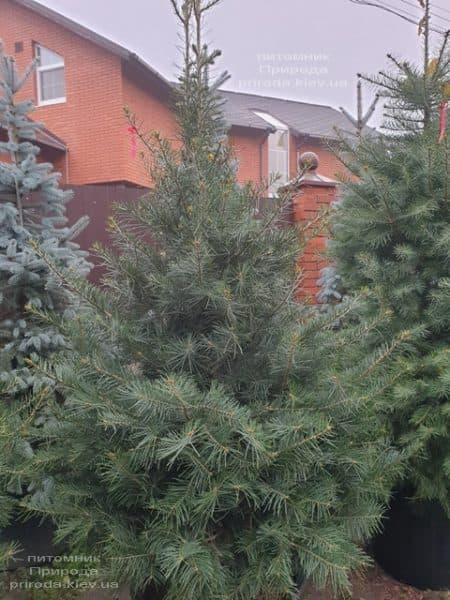 Пихта одноцветная (Abies Concolor) ФОТО Питомник растений Природа (52)