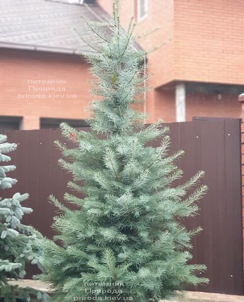 Пихта одноцветная (Abies Concolor) ФОТО Питомник растений Природа (55)