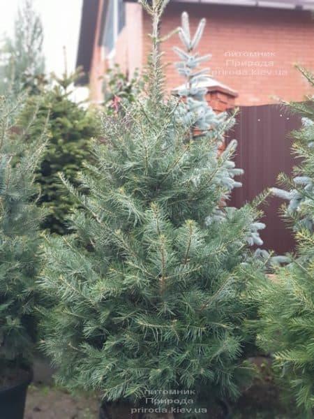 Пихта одноцветная (Abies Concolor) ФОТО Питомник растений Природа (56)