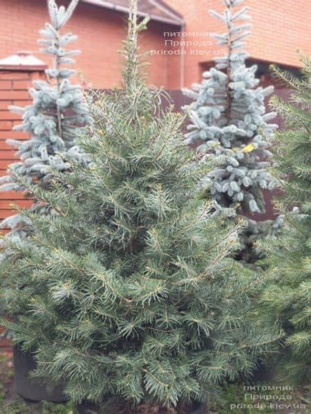 Пихта одноцветная (Abies Concolor) ФОТО Питомник растений Природа (57)