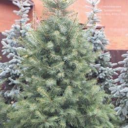 Ялиця одноколірна (Abies Concolor) ФОТО Розплідник рослин Природа (58)