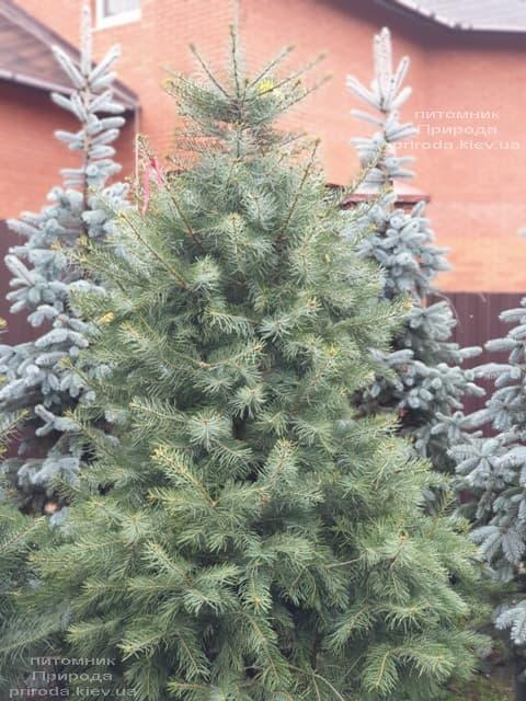 Пихта одноцветная (Abies Concolor) ФОТО Питомник растений Природа (58)
