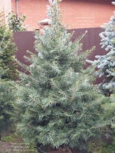 Пихта одноцветная (Abies Concolor) ФОТО Питомник растений Природа (59)