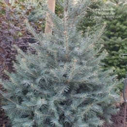 Ялиця одноколірна (Abies Concolor) ФОТО Розплідник рослин Природа (66)