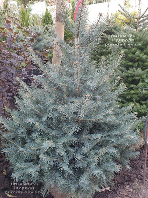 Пихта одноцветная (Abies Concolor) ФОТО Питомник растений Природа (66)