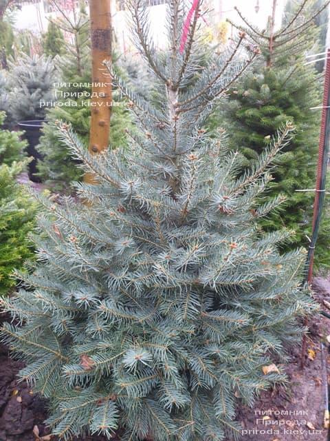 Пихта одноцветная (Abies Concolor) ФОТО Питомник растений Природа (67)