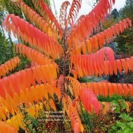 Сумах оленерогий (Уксусное дерево) (Rhus typhina) ФОТО Питомник растений Природа (1)