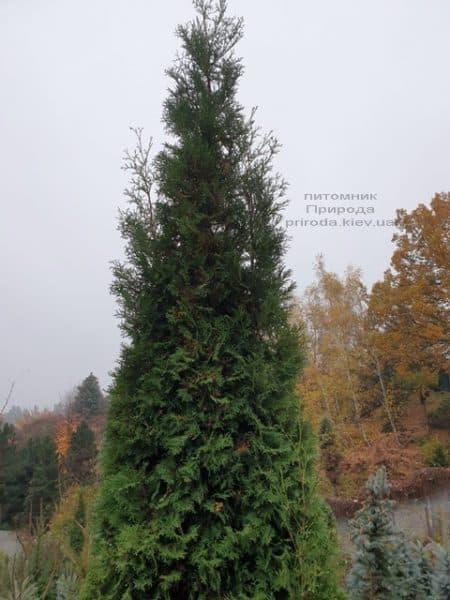 Туя західна колоновидна Колумна (Thuja occidentalis Columna) ФОТО Розплідник рослин Природа (26)