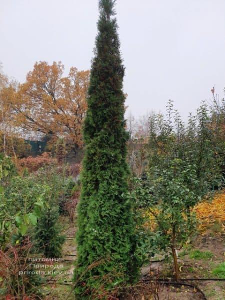 Туя західна колоновидна Колумна (Thuja occidentalis Columna) ФОТО Розплідник рослин Природа (27)
