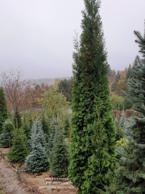 Туя західна колоновидна Колумна (Thuja occidentalis Columna) ФОТО Розплідник рослин Природа (29)