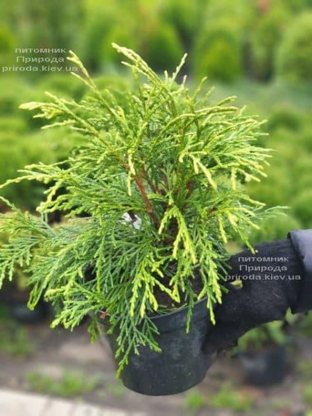 Туя складчатая Кагерс Бьюти (Thuja plicata Kagers Beauty) ФОТО Питомник растений Природа (1)