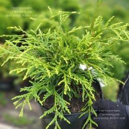 Туя складчаста Кагерс Б'юті (Thuja plicata Kagers Beauty) ФОТО Розплідник рослин Природа (2)