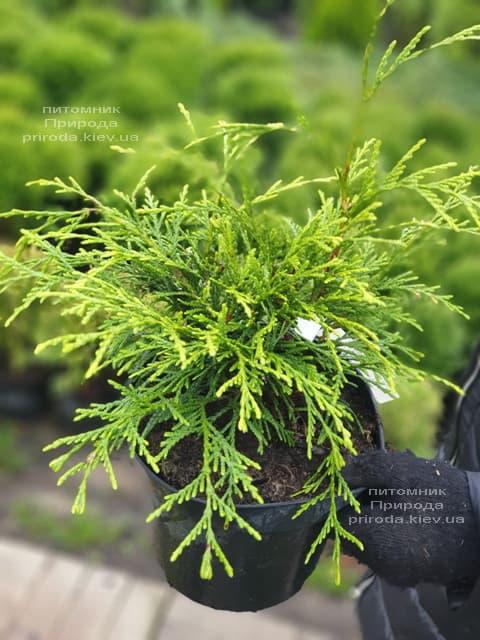 Туя складчатая Кагерс Бьюти (Thuja plicata Kagers Beauty) ФОТО Питомник растений Природа (2)