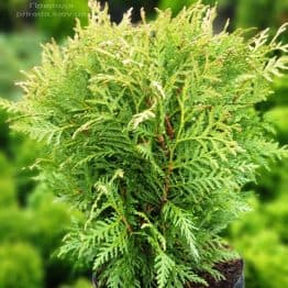 Туя західна Глобоза (Thuja occidentalis Globosa) ФОТО Розплідник рослин Природа (3)