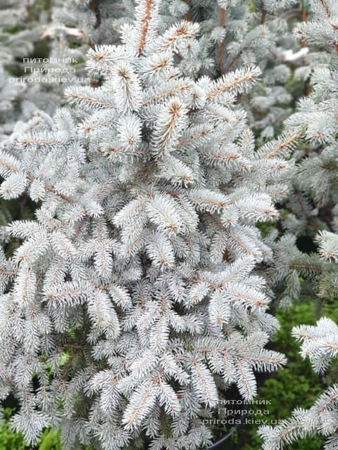 Ялина блакитна Блю Трінкет (Picea pungens Blue Trinket) ФОТО Розплідник рослин Природа (6)