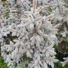Ель голубая Блю Тринкет (Picea pungens Blue Trinket) ФОТО Питомник растений Природа (7)