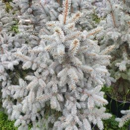 Ялина блакитна Блю Трінкет (Picea pungens Blue Trinket) ФОТО Розплідник рослин Природа (7)